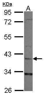 Sample (30 ug of whole cell lysate) A: 293T 10% SDS PAGE LRG1 antibody diluted at 1:1000