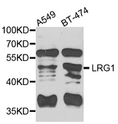 Western blot blot of extracts of various cells, using LRG1 antibody.