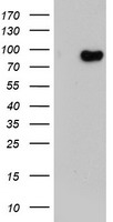 HEK293T cells were transfected with the pCMV6-ENTRY control (Left lane) or pCMV6-ENTRY LRRC50 (Right lane) cDNA for 48 hrs and lysed. Equivalent amounts of cell lysates (5 ug per lane) were separated by SDS-PAGE and immunoblotted with anti-LRRC50.