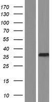LRRC59 Protein - Western validation with an anti-DDK antibody * L: Control HEK293 lysate R: Over-expression lysate