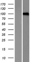 LRRC8D / LRRC5 Protein - Western validation with an anti-DDK antibody * L: Control HEK293 lysate R: Over-expression lysate
