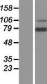 LRRN3 Protein - Western validation with an anti-DDK antibody * L: Control HEK293 lysate R: Over-expression lysate