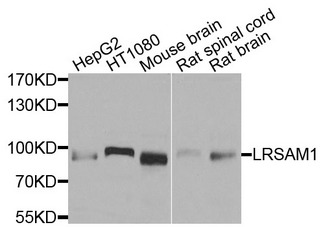 LRSAM1 Antibody - Western blot analysis of extracts of various cells.