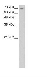 LSR / LISCH7 Antibody - HepG2 Cell Lysate.  This image was taken for the unconjugated form of this product. Other forms have not been tested.