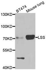 Western blot of extracts of various cell lines, using LSS antibody.