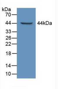 Western Blot ; Sample: Recombinant LTBP1, Mouse.