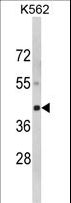 Luc7 / LUC7L Antibody - Western blot of LUC7L Antibody in K562 cell line lysates (35 ug/lane). LUC7L (arrow) was detected using the purified antibody.