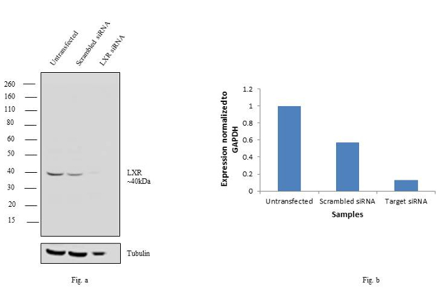 Antibody specificity was demonstrated by siRNA mediated knockdown of target protein. HeLa cells were transfected with LXR alpha/beta siRNA and loss of signal was observed in Western Blot using Anti-LXR alpha/beta Polyclonal Antibody.