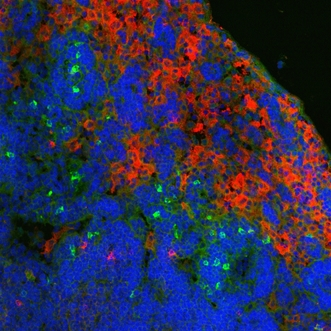 Ly-6B.2 Antibody - Immunofluorescence staining of mouse Peyer's patch with Rat anti-Mouse Ly6.2B:FITC , green; counterstained for macrophages (F4/80), red and nuclei, blue This image was taken for the unconjugated form of this product. Other forms have not been tested.