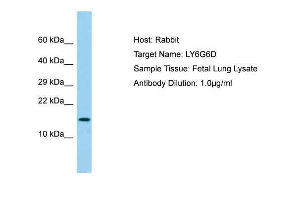 LY6G6D Antibody -  This image was taken for the unconjugated form of this product. Other forms have not been tested.