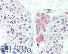 LY6G6F Antibody - Anti-LY6G6F antibody IHC staining of human testis. Immunohistochemistry of formalin-fixed, paraffin-embedded tissue after heat-induced antigen retrieval. Antibody concentration 10 ug/ml.  This image was taken for the unconjugated form of this product. Other forms have not been tested.