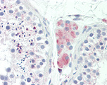 Anti-LY6G6F antibody IHC staining of human testis. Immunohistochemistry of formalin-fixed, paraffin-embedded tissue after heat-induced antigen retrieval. Antibody concentration 10 ug/ml.  This image was taken for the unconjugated form of this product. Other forms have not been tested.