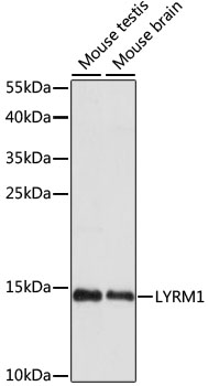 LYRM1 Antibody - Western blot analysis of extracts of various cell lines, using LYRM1 antibody at 1:1000 dilution. The secondary antibody used was an HRP Goat Anti-Rabbit IgG (H+L) at 1:10000 dilution. Lysates were loaded 25ug per lane and 3% nonfat dry milk in TBST was used for blocking. An ECL Kit was used for detection and the exposure time was 90s.
