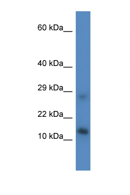 LYRM4 antibody LS-C135444 Western blot of Mouse Liver lysate. Antibody concentration 1 ug/ml.  This image was taken for the unconjugated form of this product. Other forms have not been tested.