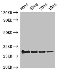 LYZ / Lysozyme Antibody - Western Blot Positive WB detected in Recombinant protein All Lanes:LYSC1 antibody at 2µg/ml Secondary Goat polyclonal to rabbit IgG at 1/50000 dilution Predicted band size: 30 kDa Observed band size: 30 kDa