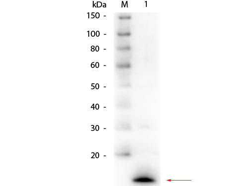 LYZ / Lysozyme Antibody - Western Blot of rabbit anti-Lysozyme (Hen Egg White) Antibody. Lane 1: Lysozyme (Hen Egg White). Load: 50 ng per lane. Primary antibody: Rabbit anti-Lysozyme (Hen Egg White) Antibody at 1:1,000 overnight at 4°C. Secondary antibody: HRP rabbit secondary antibody at 1:40,000 for 30 min at RT. Block: MB-070 for 30 min at RT. Predicted/Observed size: 4.9 kDa, 4.9 kDa for Lysozyme (Hen Egg White).