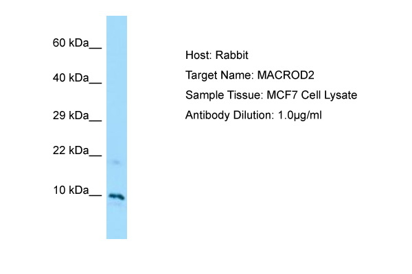 MACROD2 Antibody -  This image was taken for the unconjugated form of this product. Other forms have not been tested.