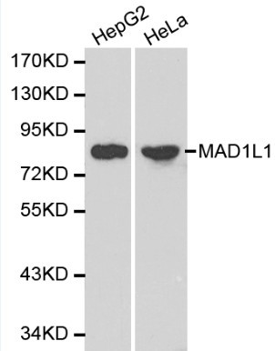 Western blot of MAD1L1 pAb in extracts from HepG2 and Hela cells.