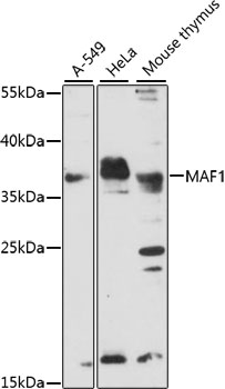 MAF1 Antibody - Western blot analysis of extracts of various cell lines, using MAF1 antibody at 1:1000 dilution. The secondary antibody used was an HRP Goat Anti-Rabbit IgG (H+L) at 1:10000 dilution. Lysates were loaded 25ug per lane and 3% nonfat dry milk in TBST was used for blocking. An ECL Kit was used for detection and the exposure time was 10s.