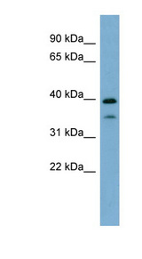 MAFA antibody Western blot of Fetal Thymus lysate. This image was taken for the unconjugated form of this product. Other forms have not been tested.