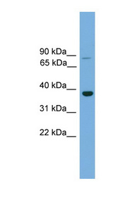 MAFA antibody Western blot of Mouse Muscle lysate. This image was taken for the unconjugated form of this product. Other forms have not been tested.