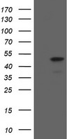 MAFB Antibody - HEK293T cells were transfected with the pCMV6-ENTRY control (Left lane) or pCMV6-ENTRY MAFB (Right lane) cDNA for 48 hrs and lysed. Equivalent amounts of cell lysates (5 ug per lane) were separated by SDS-PAGE and immunoblotted with anti-MAFB.