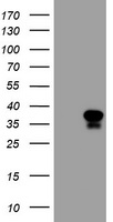 HEK293T cells were transfected with the pCMV6-ENTRY control (Left lane) or pCMV6-ENTRY MAFB (Right lane) cDNA for 48 hrs and lysed. Equivalent amounts of cell lysates (5 ug per lane) were separated by SDS-PAGE and immunoblotted with anti-MAFB.