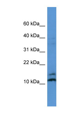 MAGOH antibody LS-C135763 Western blot of MCF7 cell lysate.  This image was taken for the unconjugated form of this product. Other forms have not been tested.