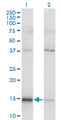 Western blot of MAGOH expression in transfected 293T cell line by MAGOH monoclonal antibody (M01), clone 6E11.