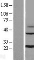 MAGP / MFAP2 Protein - Western validation with an anti-DDK antibody * L: Control HEK293 lysate R: Over-expression lysate