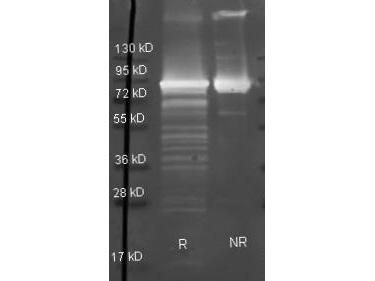 Maltose Phosphorylase Antibody - Goat anti Maltose Phosphorylase antibody was used to detect Maltose Phosphorylase under reducing (R) and non-reducing (NR) conditions. Reduced samples of purified target proteins contained 4% BME and were boiled for 5 minutes. Samples of ~1ug of protein per lane were run by SDS-PAGE. Protein was transferred to nitrocellulose and probed with 1:3000 dilution of primary antibody (ON 4 C in MB-070). Detection shown was using Dylight 488 conjugated Donkey anti goat.