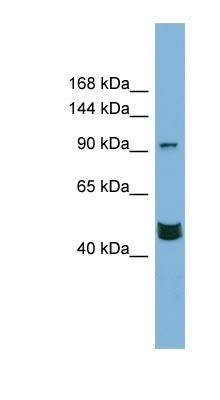 MAML3 antibody Western blot of PANC1 cell lysate. This image was taken for the unconjugated form of this product. Other forms have not been tested.