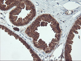 IHC of paraffin-embedded Human breast tissue using anti-MAOA mouse monoclonal antibody.