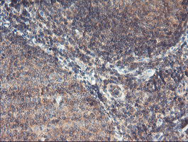 IHC of paraffin-embedded Human tonsil using anti-MAOA mouse monoclonal antibody.