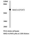 Western blot of MAO-A (P347) pAb in extracts from PC12 cells.