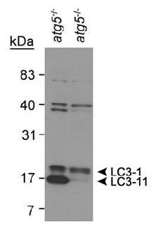 MAP1LC3B / LC3B Antibody - Detection of LC3 in human brain lysate using LC3 (human) Antibody.  This image was taken for the unconjugated form of this product. Other forms have not been tested.