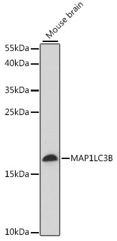MAP1LC3B / LC3B Antibody - Western blot analysis of extracts of mouse brain, using MAP1LC3B antibody at 1:1000 dilution. The secondary antibody used was an HRP Goat Anti-Rabbit IgG (H+L) at 1:10000 dilution. Lysates were loaded 25ug per lane and 3% nonfat dry milk in TBST was used for blocking. An ECL Kit was used for detection and the exposure time was 2min.
