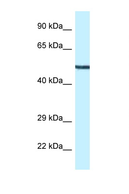 MAP2K5 / MEK5 antibody Western blot of Mouse Heart lysate. Antibody concentration 1 ug/ml.  This image was taken for the unconjugated form of this product. Other forms have not been tested.