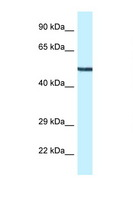 MAP2K5 / MEK5 Antibody - MAP2K5 / MEK5 antibody Western blot of Mouse Heart lysate. Antibody concentration 1 ug/ml.  This image was taken for the unconjugated form of this product. Other forms have not been tested.