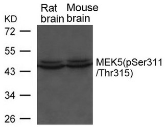 Western blot of extracts from Rat and Mouse brain tissue using MEK5 (phospho-Ser311/ Thr315) antibody.