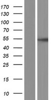 MAP2K5 / MEK5 Protein - Western validation with an anti-DDK antibody * L: Control HEK293 lysate R: Over-expression lysate