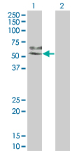 Western blot of MAP2K7 expression in transfected 293T cell line by MAP2K7 monoclonal antibody (M04), clone 2G5.