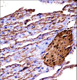 MAP3K2 / MEKK2 Antibody - Mouse Map3k2 immunohistochemistry of formalin-fixed and paraffin-embedded mouse pancreas tissue followed by peroxidase-conjugated secondary antibody and DAB staining.