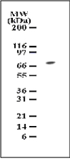 Western blot of TAK1 in cell lysates from NIH 3T3 cells using antibody at 1 ug/ml dilution.