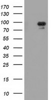 MAPK12 / ERK6 / SAPK3 Antibody - HEK293T cells were transfected with the pCMV6-ENTRY control (Left lane) or pCMV6-ENTRY MAPK7 (Right lane) cDNA for 48 hrs and lysed. Equivalent amounts of cell lysates (5 ug per lane) were separated by SDS-PAGE and immunoblotted with anti-MAPK7.