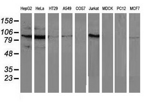 MAPK12 / ERK6 / SAPK3 Antibody - Western blot of extracts (35 ug) from 9 different cell lines by using anti-MAPK7 monoclonal antibody.