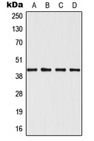Western blot analysis of SAPK3 expression in Jurkat (A); HeLa (B); NIH3T3 (C); H9C2 (D) whole cell lysates.