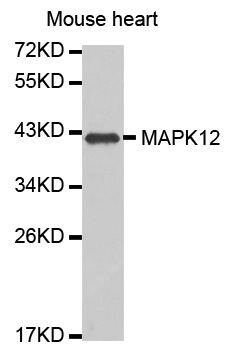 Western blot analysis of extracts of mouse heart, using MAPK12 antibody. The secondary antibody used was an HRP Goat Anti-Rabbit IgG (H+L) at 1:10000 dilution. Lysates were loaded 25ug per lane and 3% nonfat dry milk in TBST was used for blocking.