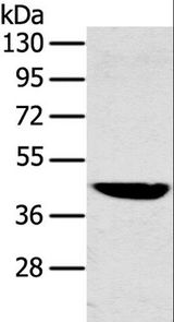 Western blot analysis of Mouse liver tissue, using MAPK12 Polyclonal Antibody at dilution of 1:350.