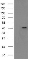 HEK293T cells were transfected with the pCMV6-ENTRY control (Left lane) or pCMV6-ENTRY MAPK13 (Right lane) cDNA for 48 hrs and lysed. Equivalent amounts of cell lysates (5 ug per lane) were separated by SDS-PAGE and immunoblotted with anti-MAPK13.